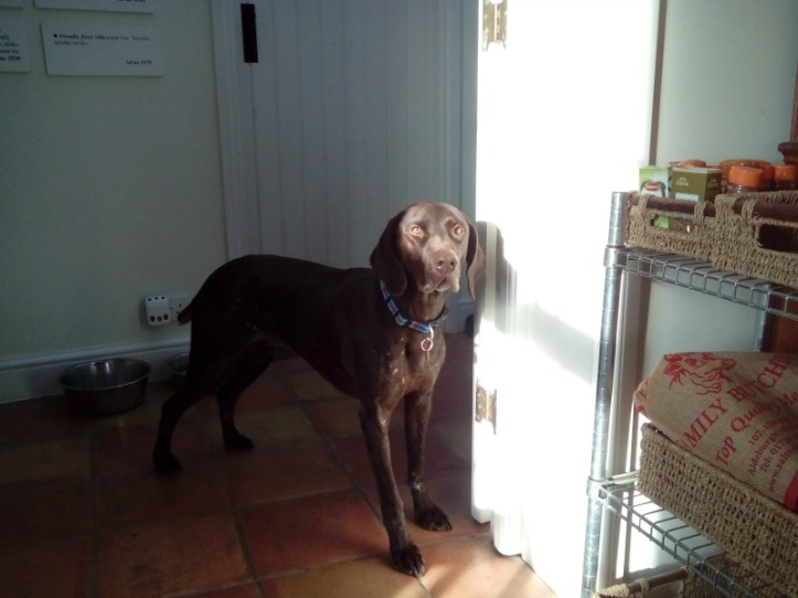 Ed the German Shorthaired Pointer (aka Fast Eddie)