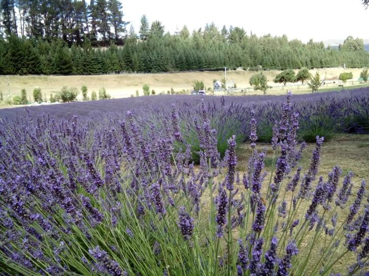 Wanaka Lavender Gardens