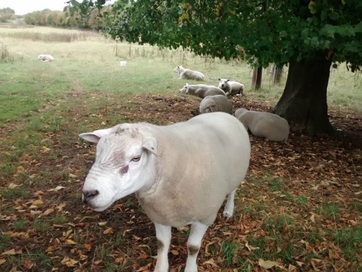 Wistow Sheep