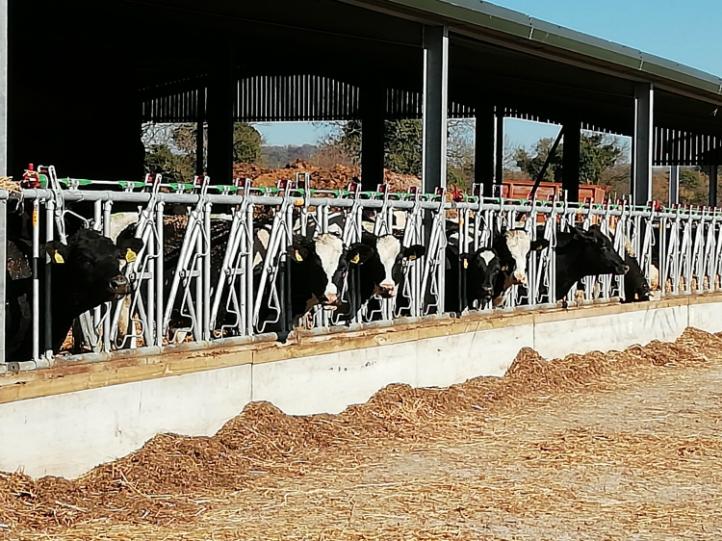 Cheriton Cows