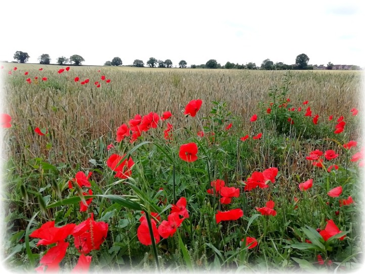 Thelnetham Poppies