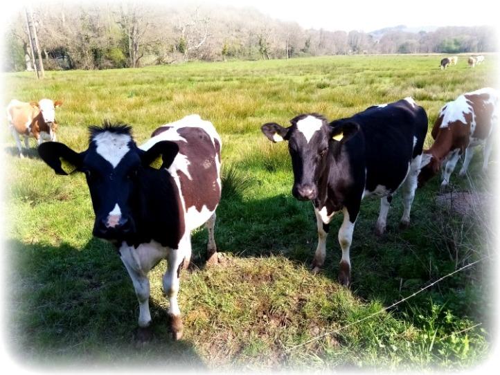 Braunton Cows